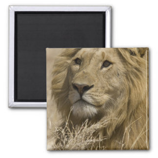 African Lion, Panthera leo, Portrait of a Magnet