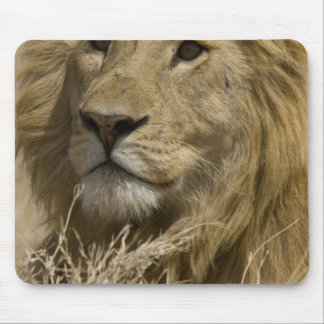 African Lion, Panthera leo, Portrait of a Mouse Pad