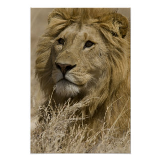 African Lion, Panthera leo, Portrait of a Print