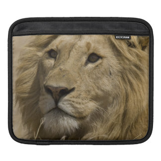 African Lion, Panthera leo, Portrait of a Sleeve For iPads
