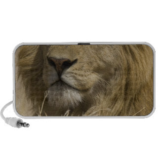 African Lion, Panthera leo, Portrait of a iPhone Speaker