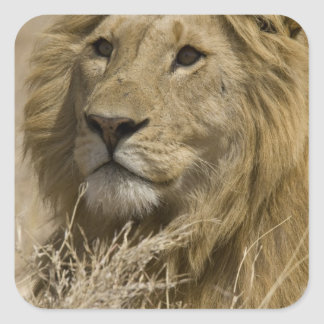African Lion, Panthera leo, Portrait of a Square Sticker