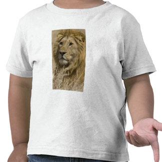 African Lion, Panthera leo, Portrait of a Shirt