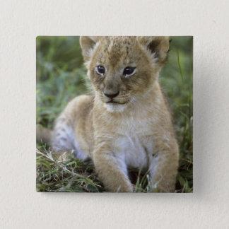 African lion, Panthera leo), Tanzania, Button