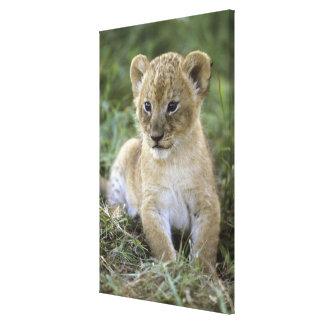 African lion, Panthera leo), Tanzania, Canvas Print