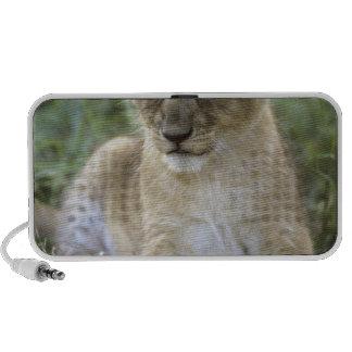 African lion, Panthera leo), Tanzania, Speaker
