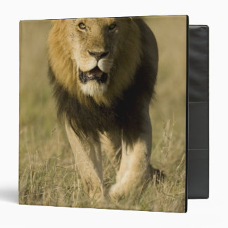 African Lion, Panthera leo, walking in the Vinyl Binder