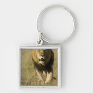 African Lion, Panthera leo, walking in the Keychain