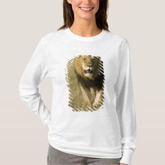 African Lion, Panthera leo, walking in the T-Shirt