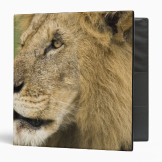 African Lion Portrait, Panthera leo, in the 3 Ring Binders