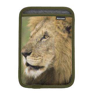 African Lion Portrait, Panthera leo, in the iPad Mini Sleeve