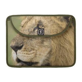 African Lion Portrait, Panthera leo, in the Sleeves For MacBooks