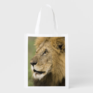 African Lion Portrait, Panthera leo, in the Market Totes