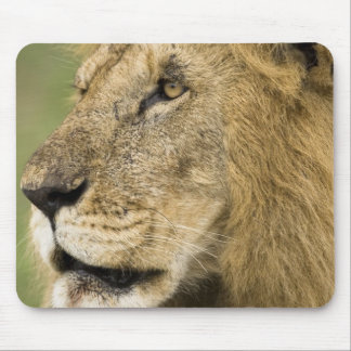 African Lion Portrait, Panthera leo, in the Mouse Pad