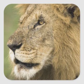 African Lion Portrait, Panthera leo, in the Square Sticker