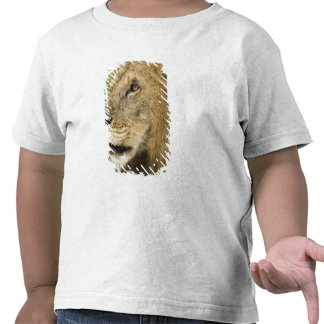 African Lion Portrait, Panthera leo, in the T-shirts