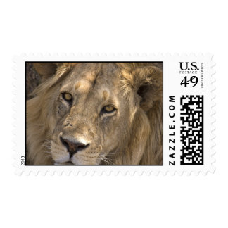 African Lion Postage Stamps