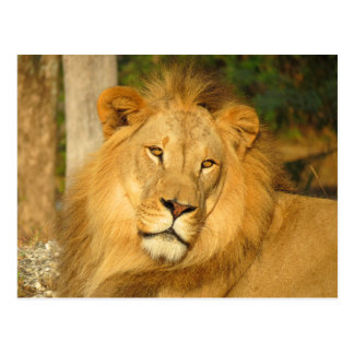 African Lion Postcards