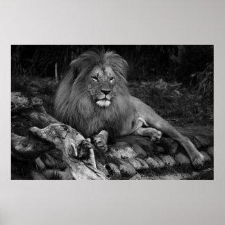 African Lion Print