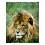 African Lion Poster