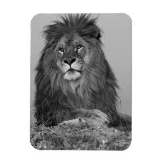 African Lion resting on rock cliff Magnet