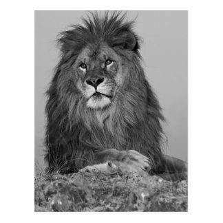 African Lion resting on rock cliff Postcard