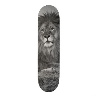African Lion resting on rock cliff Skateboard