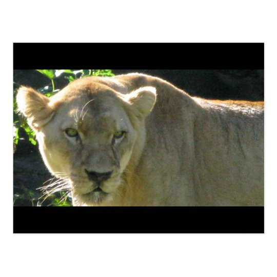African lioness postcard