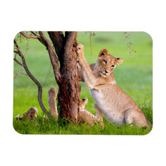 African Lions Kgalagadi Rectangular Photo Magnet