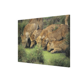 African lions (Panthera leo) smelling grass, Stretched Canvas Print
