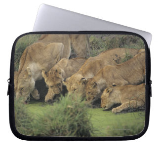 African lions (Panthera leo) smelling grass, Laptop Sleeve