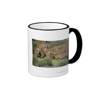 African lions (Panthera leo) smelling grass, Ringer Coffee Mug