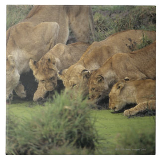 African lions (Panthera leo) smelling grass, Large Square Tile
