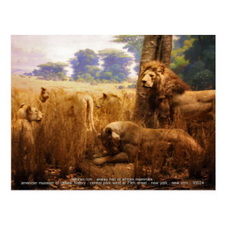 African Lions Postcard