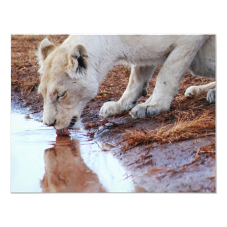 African Lions reflection Card