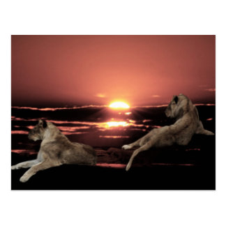African lions resting at sunset postcard