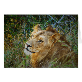 African male lion blank all occasion cards