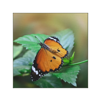 African monarch butterfly hatched out of pupa canvas print
