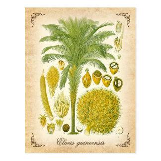 African oil palm - vintage illustration postcard