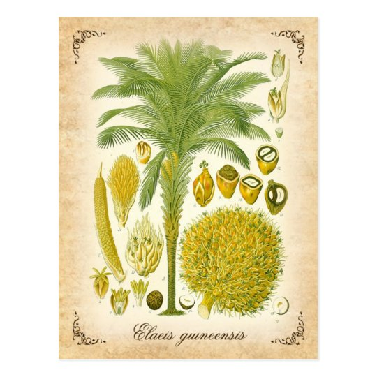 African oil palm - vintage illustration postcard