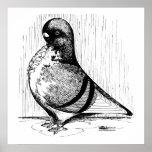 African Owl Pigeon 1978 Print