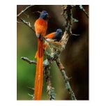 African Paradise Flycatcher 2 Postcard
