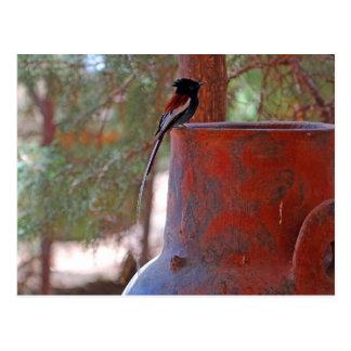 African Paradise Flycatcher Postcard