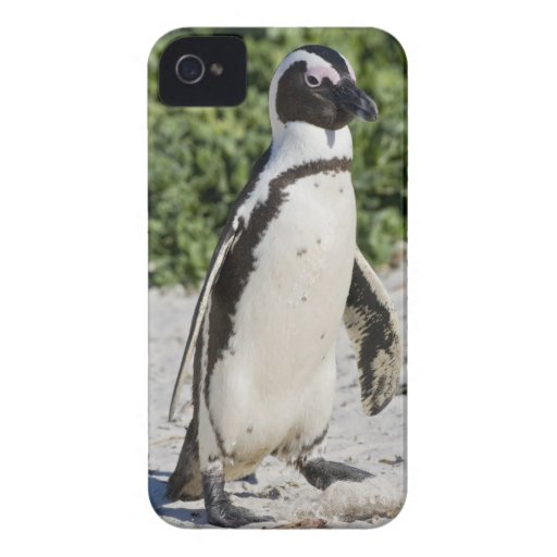 African Penguin, formerly known as Jackass Blackberry Bold Case