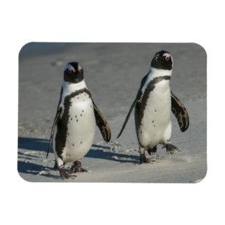 African penguin (Spheniscus demersus)2 Magnet
