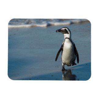 African penguin (Spheniscus demersus) 3 Magnet