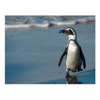 African penguin (Spheniscus demersus) 3 Postcard
