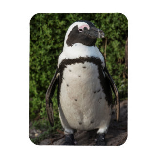 African penguin (Spheniscus demersus) 4 Magnet