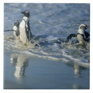 African Penguin, (Spheniscus demersus), coming 2 Ceramic Tile