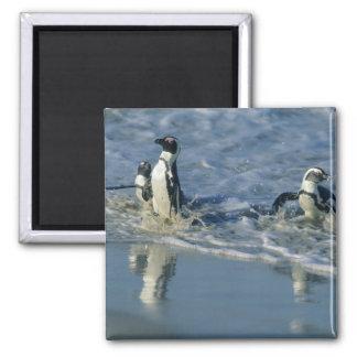 African Penguin, (Spheniscus demersus), coming 2 Magnet